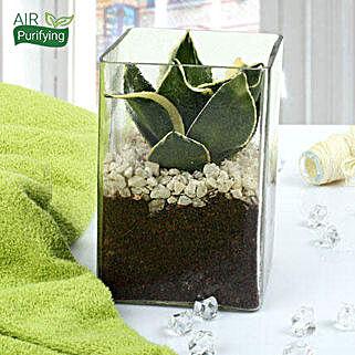 MILT Sansevieria Indoor Plant Terrarium: