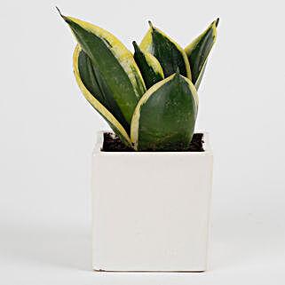 MILT Sansevieria Plant in Mini Cube Ceramic Pot: Succulents