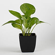 Money Plant in Black Imported Plastic Pot: Money Plant