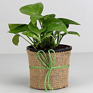 Money Plant in Black Plastic Pot: Plants to Pune