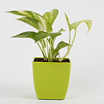 Money Plant in Imported Plastic Pot: