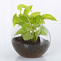Money Plant Terrarium: Bestsellers Birthday Plants