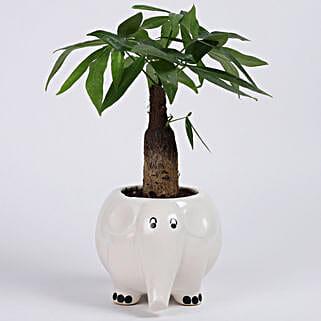 Pachira Bonsai in Elephant Ceramic Pot: Plants For Raksha Bandhan