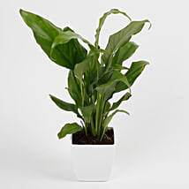 Peace Lily Plant in Imported Plastic Pot: Indoor Plants