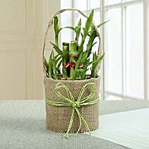 Perfect Lucky Bamboo Plant: Send Lucky Bamboo for Diwali
