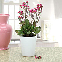 Pink Kalanchoe Plant: Mother's Day Plants
