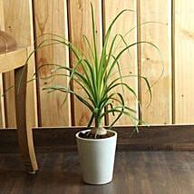 Ponytail Bamboo Palm: Good Luck Plants for Her