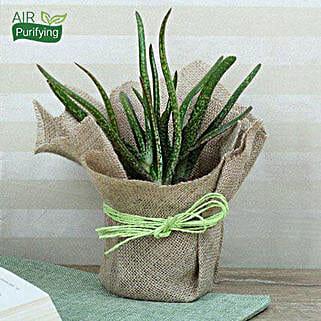 Popular Aloe Vera Plant: