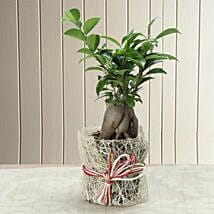 Potted Ficus Bonsai Plant: Send Diwali Gifts to Faridabad