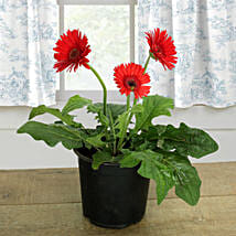 Potted Gerbera Plant: Plants Delivery