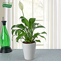 Potted Peace Lily Plant: Flower Plant