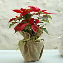 Potted Red Poinsettia Plant: