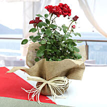 Potted Rose Plant: Rose Day Gifts