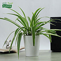 Potted Spider Plant: Ornamental Plant Gifts