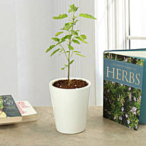 Potted Tulsi Plant: Herbs & Medicinal Plants
