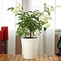 Potted White Rose Plant: Flowering Plants