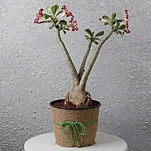 Pretty Desert Rose Bonsai Plant: Flowering Plants