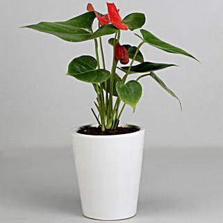 Red Anthurium Plant in White Ceramic Pot: Send Plants to Kolkata