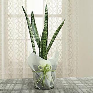 Sansevieria Trifasciata Plant: Air Purifying Plants