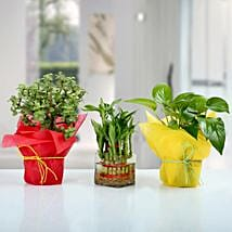 Set of 3 Good Luck Plants: Foliage Plants