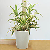 Song Of India Air Purifying Plant: Send Plants for House Warming