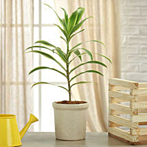 Song Of India Plant: Send Plants for House Warming