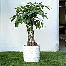 Sophisticated Basket Pachira Bonsai Plant: Plants to Delhi