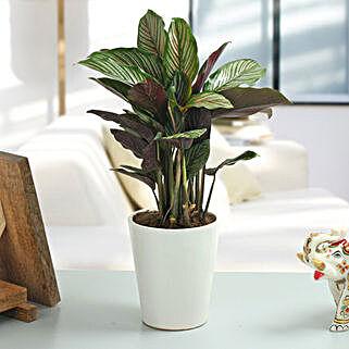 Spectacular Maranta Plant: Send Plants for House Warming