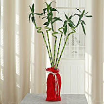 Spiral Lucky Ever Bamboo Plant: Send Plants to Bhopal
