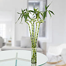 Spiral Stick Lucky Bamboo: Spiritual and Vastu Plants