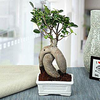 Splendid Ficus Ginseng Bonsai Plant: