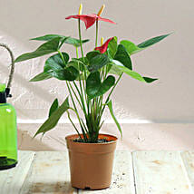 Stunning Red Anthurium Plant: Flower Plant