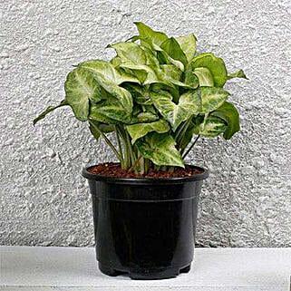 Syngonium White Plant In Black Pot: Diwali Gifts for Boss