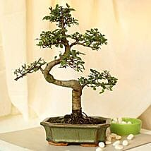 Thoughtful Elm S Shape Bonsai Plant: Send Christmas Gifts for Clients