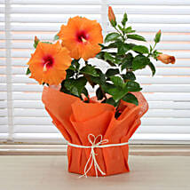 Tropical Hibiscus Plant: Flowering Plants