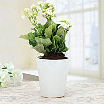White Kalanchoe Plant: Mother's Day Plants