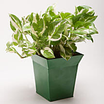 White Pothos Plant in Bucket Shaped Metal Pot: Pots for Plants