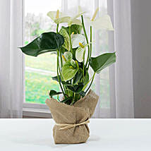 White Anthurium Jute Wrapped Potted Plant: Birthday Flowers to Singapore