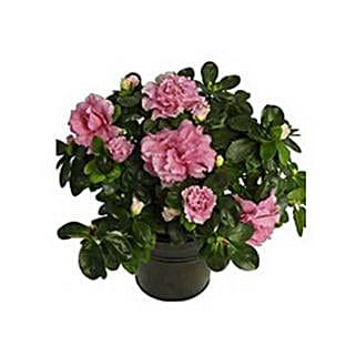 Azalea Plant: Send Birthday Gifts to Abu Dhabi