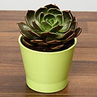 Purple Echeveria Plant In Green Ceramic Pot: Mother's Day Plants to UAE