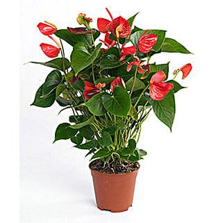 Red Anthurium Plant: