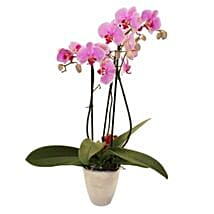 Elegant Orchid: Send Gifts to Leicester