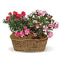 Awesome Azaleas: Send Flowers to Irving