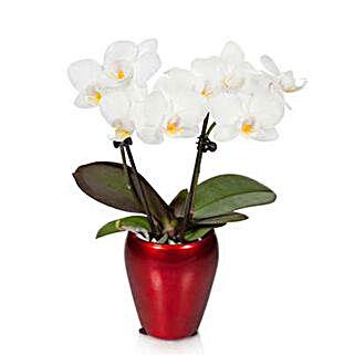 Campfire Mini Orchid: Send Plants to USA